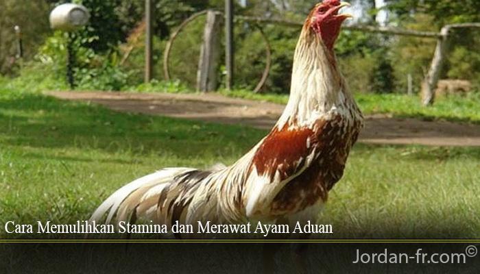 Cara Memulihkan Stamina dan Merawat Ayam Aduan
