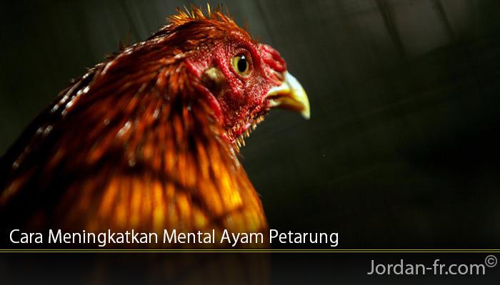 Cara Meningkatkan Mental Ayam Petarung