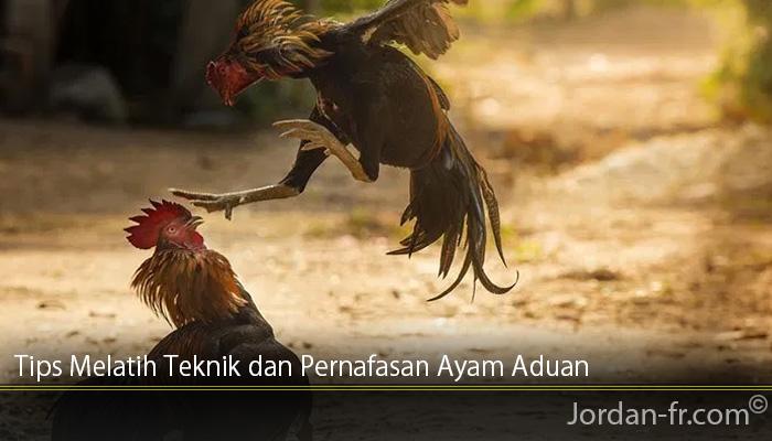 Tips Melatih Teknik dan Pernafasan Ayam Aduan