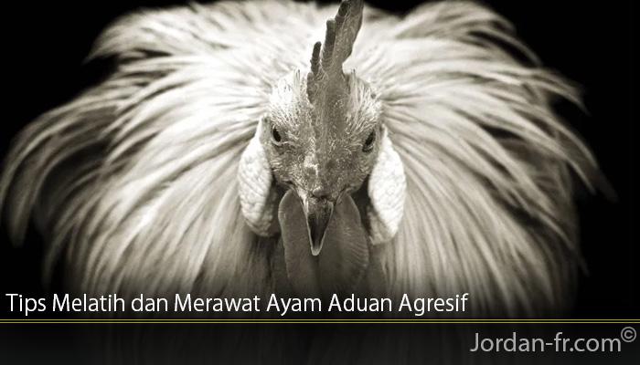 Tips Melatih dan Merawat Ayam Aduan Agresif